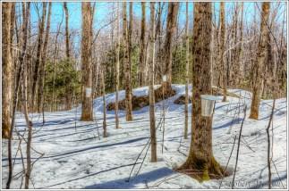 Shorewood Maple Sap