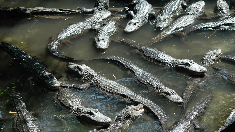 Hallan a 10 caimanes devorando el cadáver de un menor en un lago de Florida