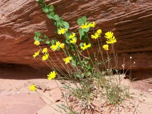 Yellow flowers growing beside a rock