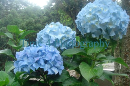 A cluster of 3 blue hortensias in the centre amidst green leaves and a group of trees in the background on the upper left
