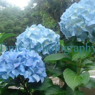 A cluster of 3 blue hortensias in the centre amidst green leaves to the right and a forest background on the upper left
