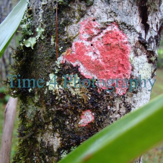 This picture shows a patch of red lichen spread across a treetrunk, with a red center core and shome white color on the upper part.