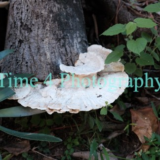 A white mushroom protruding from a tree bark, surrounded by green leaves