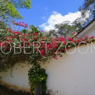 In the colonial city of Tiradentes we see red flowers hanging from a white wall of a house, amid many leaves and under a deep blue sky