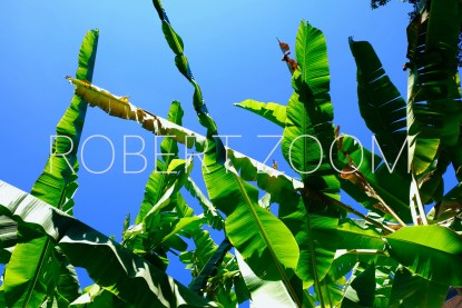 The leaves of many banana trees can be seen in this picture in sharp contrast to a deep blue summer sky in Sao Paulo, Brazil