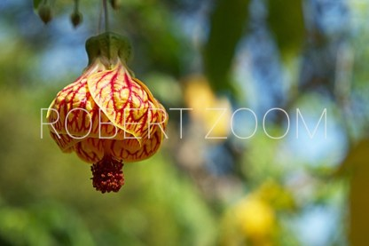 Flower of the Chinese Lantern Flower, lighted by the sun and against a wonderful garden background with patches of green and blue sky.