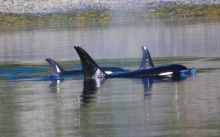 Orcas in Amook Pass