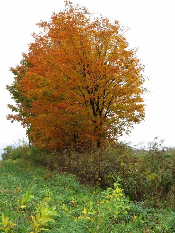 Robin Botie of ithaca, New York, foinds a photo of a red tree from the last beautiful day in October.