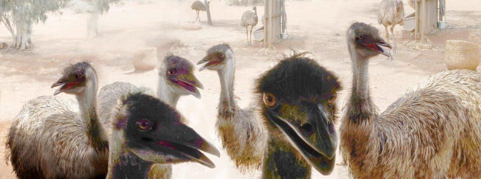 Robin Botie of Ithaca, New York, photoshops emus in Australia.