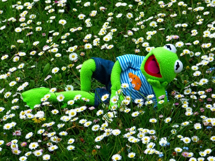Kermit in a daisy field