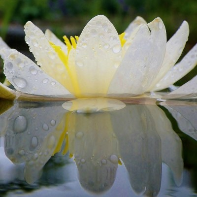 water-lily-635865_1280
