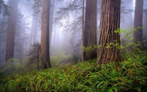 """Foggy Redwoods—the setting for """"The High Roads"""" short story"""