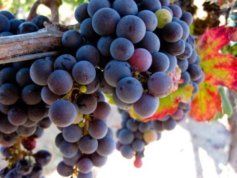 Ripe Grapes © Robin E. H. Ove, All Rights Reserved