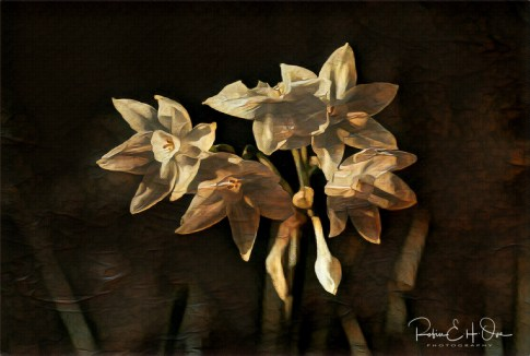 Dark Paperwhites, Narssis © Robin E. H. Ove All Rights Reserved