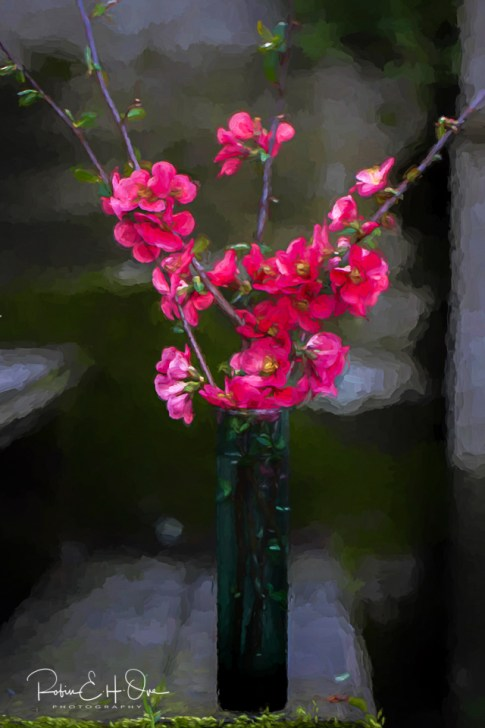 Flowering Quince © Robin E. H. Ove All Rights Reserved