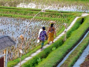 A path runs through it - the rice paddies of Bali