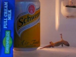 Dead gecko in my refrigerator