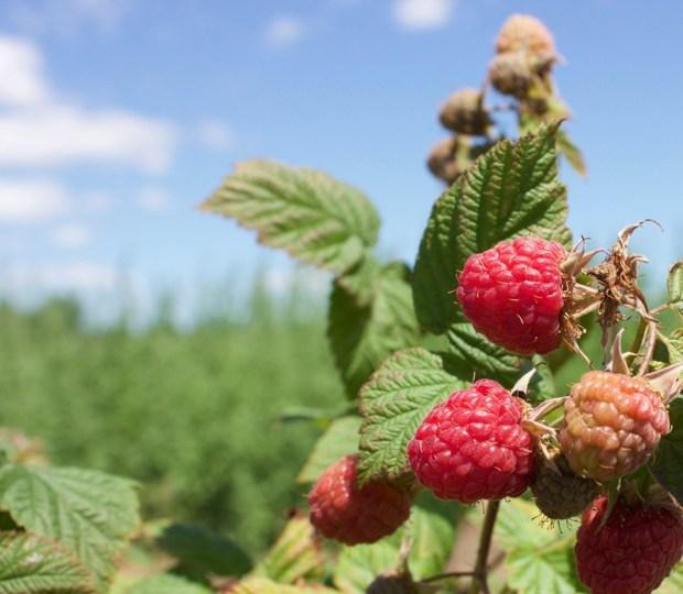 Pick Your Own Raspberries In Toronto
