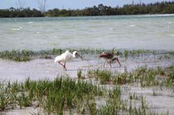 Waterbirds hunt in the tidal pools of the Gulf of Mexico off of Fort DeSoto Beach, a featured stop on the Great Florida Birding Trail.