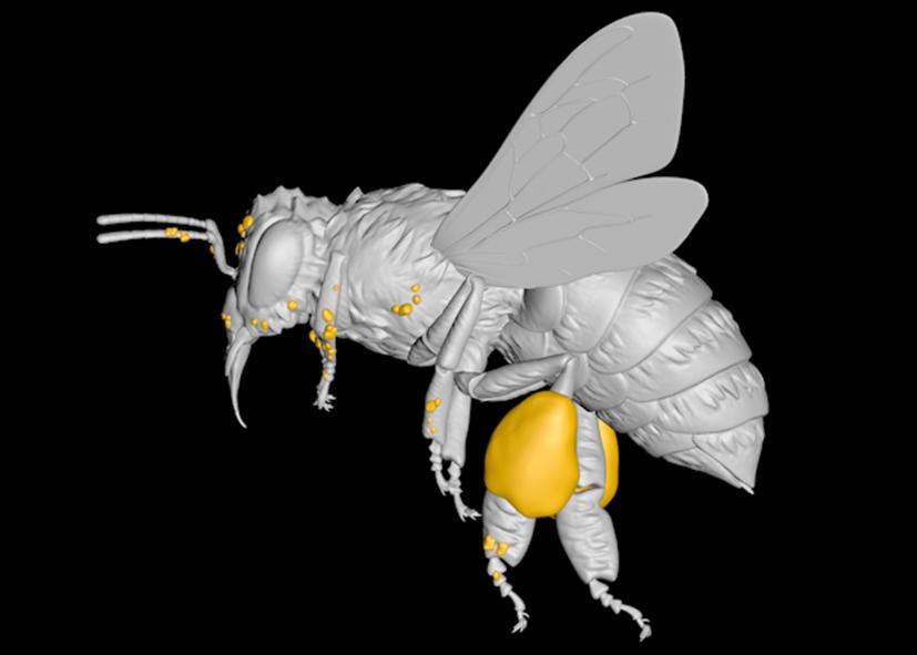 Digitale afbeelding van een educatief 3D-model van een honing-bij. Zijaanzicht.