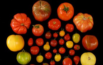 Scientists develop genetic path to tastier tomatoes