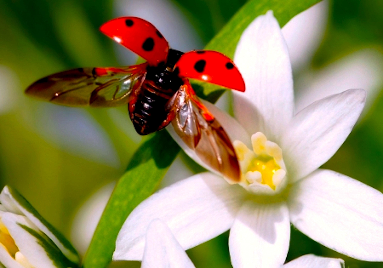 Flying ladybug (foto The Write Room Blog)