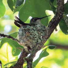 Ruby-throated Hummingbird on her nest at Lake Forest Park