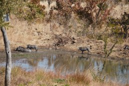 The local watering hole with Warthogs