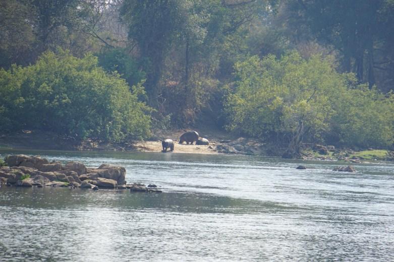 Sun bathing Hippos