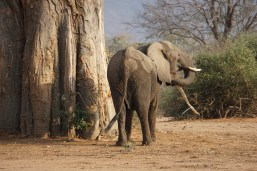 Hungry Elephant eating Baobob bark for survival