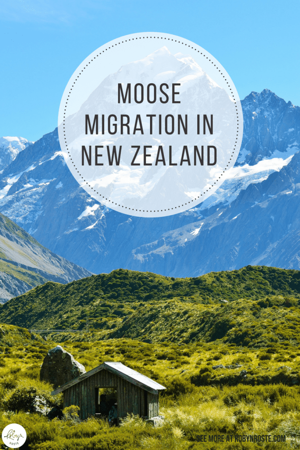 This story is about the moose migration in New Zealand. Just how, exactly, did the moose migration in New Zealand happen? Glad you asked.