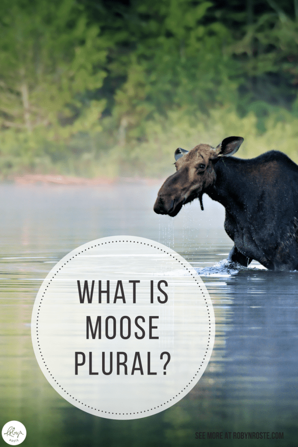 Meeser Meeses? Mooser Moose? What is moose plural? I know you're wondering why the plural of moose isn't meese, right? Don't stop reading!