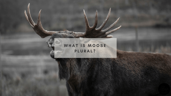Meeser Meeses? Mooser Moose? Moose Meese? What is moose plural