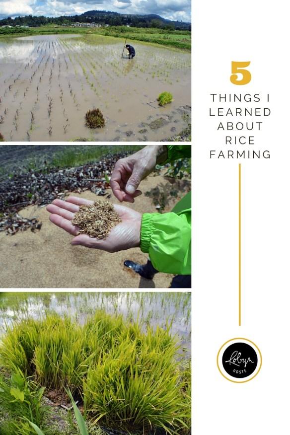 rice farming in abbotsford