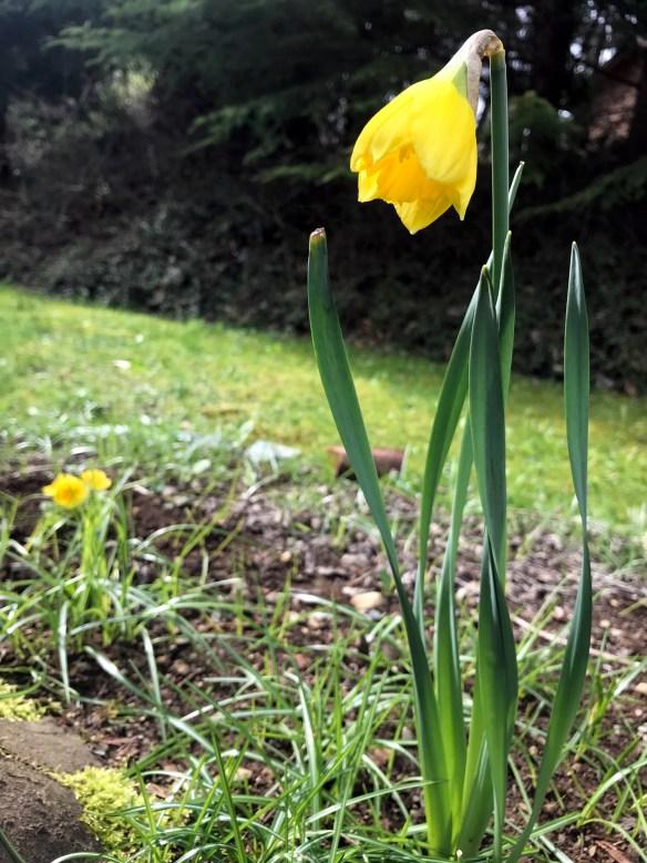April Flowers Daffodil