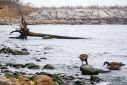 Geese on Lake Ontario