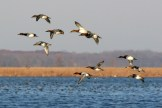 Canvasbacks in flight - Montezuma National Wildlife Refuge © D. Sherony