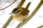 Carolina Wren - Pittsford, NY © Richard Ashworth
