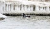 Harlequin Duck (male). Braddock Bay (© Dominic Sherony)