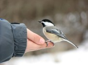 Black-capped Chickadee © Laura Kammermeier