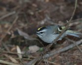 Golden-crowned Kinglet © Chuck Schleigh