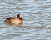 Greater Scaup - Female - © Chuck Schleigh