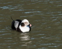 Long-tailed Duck © by Chuck Schleigh