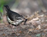 Louisiana Waterthrush © Chuck Schleigh
