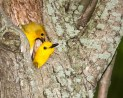 Prothonotary Warbler pair © Chuck Schleigh
