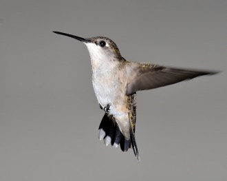 Ruby-throated Hummingbird © Chuck Schleigh