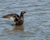 White-winged Scoter © Chuck Schleigh