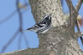 Black-and-white Warbler © Dominic Sherony
