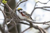 Chestnut-sided Warbler © Dominic Sherony