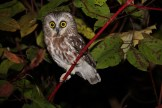 Northern Saw-whet Owl - Braddock Bay Bird Observatory © Dominic Sherony
